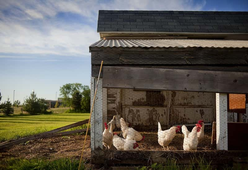 How to Start an Egg Layer Poultry Business - Step by Step
