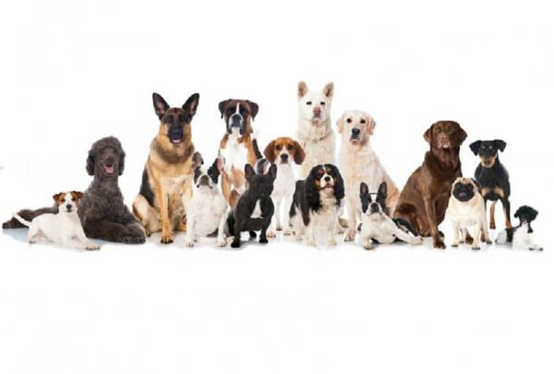 the great variety of dog breeds is enormous